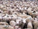Πόσα Είναι Τα Πρόβατα;